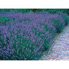 Echter Lavendel Blau Topf-Ø ca. 13 cm
