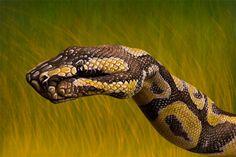 python.jpg 800×533 pixels