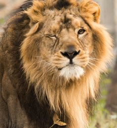The Asiatic lion is one of five big cat species found in India, apart from Bengal tiger, Indian leopard, snow leopard and clouded leopard. It formerly occurred in Persia, Mesopotamia, Baluchistan, from Sind in the west to Bengal in the east, and from Rampur and Rohilkund in the north to Nerbudda in the south. It differs from the African lion by less inflated auditory bullae, a larger tail tuft and a less developed mane