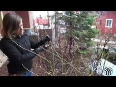 ▶ How To Prune a Dogwood, rejuvenate a Dogwood and prune a Spirea Shrub (or prairie hydrangea) -YouTube. Worked great for spirea and hydrangea this year. May need to do massive prune on dogwoods next year.