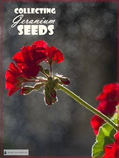 Seeds - Pelargonium Propagation Learn all about Collecting Geranium Seeds.Learn all about Collecting Geranium Seeds. Growing Geraniums, Geraniums Garden, Growing Flowers, Planting Flowers, Propagating Geraniums, Hydroponic Farming, Tomato Farming, Hydroponic Growing, Hydroponics