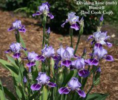 Iris DIVIDING LINE   Stout Gardens at Dancingtree