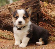 #WelshCorgi #Pembroke #Charming #PinterestPuppies #PuppiesOfPinterest #Puppy #Puppies #Pups #Pup #Funloving #Sweet #PuppyLove #Cute #Cuddly #Adorable #ForTheLoveOfADog #MansBestFriend #Animals #Dog #Pet #Pets #ChildrenFriendly #PuppyandChildren #ChildandPuppy #LancasterPuppies www.LancasterPuppies.com New Puppy, Puppy Love, Pembroke Welsh Corgi Puppies, Lancaster Puppies, Cute Little Puppies, Puppies For Sale, Mans Best Friend, I Love Dogs, Animals And Pets