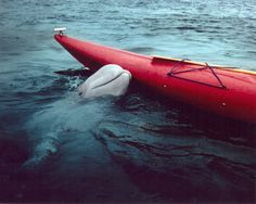 In Nova Scotia the baby beluga whale came up to our small boat and played fetch with a small ball.  It came along side the boat and let us touch it's head.  ----  This photo is probably the same whale. A Wild Beluga Whale in Nova Scotia, Canada.  Photograph by Richard Hobson.