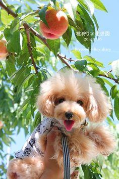 桃狩り+ラベンダー畑♡の画像 | トイプードルRoyの日記