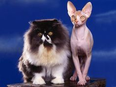 persian and sphynx hgkircher