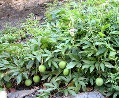 List of Uncommon Cold Hardy Fruit Trees (Gardening Zones 3-7) - gooseberry!