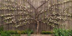 Espaliered Fruit Trees Fan Plum