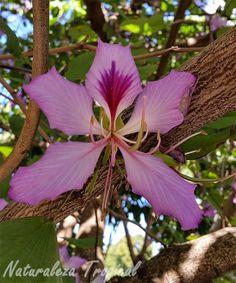 Variedad púrpura de la flor del árbol orquídea, género Bauhinia