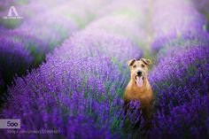 Lavender Dream by IzaLysonArts. Please Like http://fb.me/go4photos and Follow @go4fotos Thank You. :-)