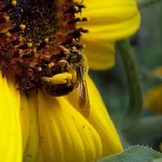 How to Grow Giant Sunflowers - Organic Gardening - MOTHER EARTH NEWS #seedtoharvest #motherearthnews #gardening