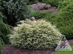 Tsuga Canadensis 'Moon Frost' - Globose dwarf, as wide as tall. Dark green needles with silver beneath. New growth all white. Shade tolerant. Shade, Full Sun, Part Shade. 3' in 10 years.  zone 4
