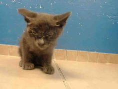 Joe, Blind Kitten Has a Chance for Vision   Anjellicle Cats Fundraising