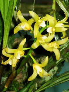 Xylobium foveatum