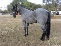 CW Continental King AQHA Blue Roan Stallion