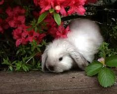 Cute holland lop