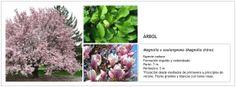 Magnolia x soulangeana (Magnolio chino)
