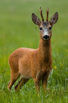 Summer roe deer by ~ J Mrocek