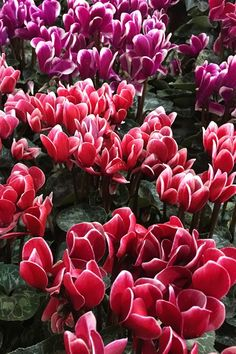 A ciklámen közkedvelt virág hazánkban. Több színben kapható és gyakran adjuk vagy kapjuk ajándékba szeretteinknek. Plants, Planters, Plant, Planting