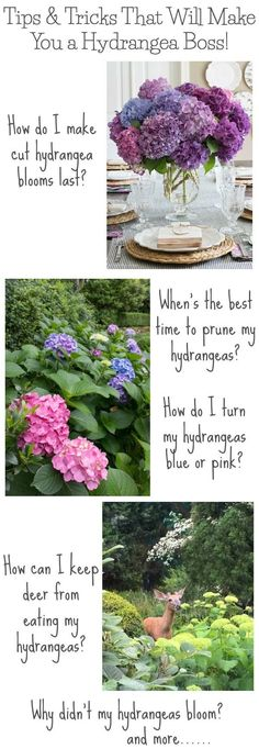 Sooo many awesome tips for growing hydrangeas! When to prune and how much to prune them, how to change their color, how to make cut hydrangea blooms last, and more! Also explains why your hydrangea plants might not bloom! #hydrangeas #gardening #pruning #spring #flowers