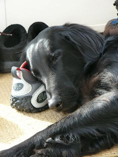 Sleeping flat-coated retriever