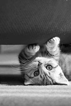 Little cute cat under a red sofa - Cute liitle kitty staring at the camera Pretty Cats, Beautiful Cats, Animals Beautiful, Beautiful Pictures, Beautiful Creatures, Baby Animals, Funny Animals, Cute Animals, Cute Kittens