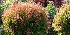Blue Plumbago Plant (Plumbago auriculata) - Easy Caring Tips Smooth Hydrangea, Hydrangea Shrub, Red Tip Photinia, Angel Trumpet Plant, Shrubs For Sale, Types Of Hydrangeas, Japan Flower, Climbing Hydrangea, Tree Pruning