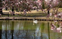 Cherry Blossoms over Japanese Garden pond at Memphis Botanic Garden