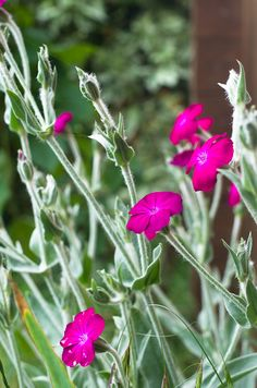 Ancolie des jardins aquilegia vulgaris pinterest - Coquelourde des jardins lychnis coronaria ...
