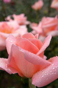 Rose Summer Lady バラ サマーレディ | Flickr - Photo Sharing!