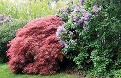 Acer and Syringa vulgaris Syringa Vulgaris, Garden Plants, Planting Flowers, Acer, Google Search, Image, Gardens, Lilacs