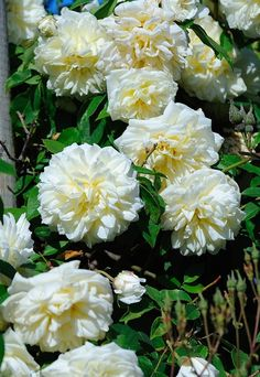 Climbing Tea Noisette Rose: Rosa 'Lamarque' (France, 1830)