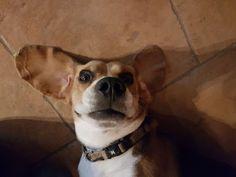 Marlow the bat-beagle