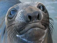 Elephant Seal nose. Top whiskerage. (From marinemammalcentre.org)