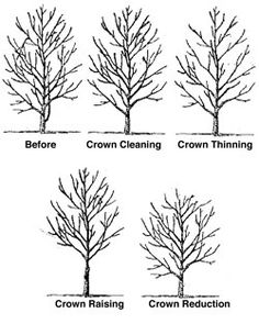 Recover fm several small pruning wounds faster than 1 lrg wound. Don't remove too much inner foliage and small branches. Maintain even distribution foliage along lrg limbs and in lower portion of crown. Overthinning reduces sugar production capacity, create tip-heavy limbs prone to failure. Mature should require little routine pruning. Never remove > one-quarter leaf-bearing crown. Mature, even that much may be negative, even a single, large-diameter limb can create a wound unable to close.