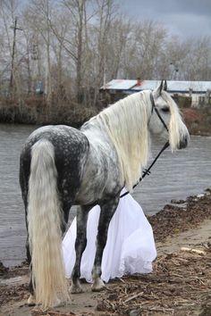 Horses for sale - Orlov Trotter Horse Russia Breeding Sold Prodan.