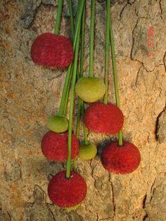 Parkia pendula- Arbol espectacular- Colombia