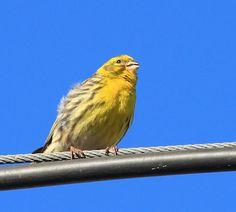 Super 12 beste afbeeldingen van Kanarie in 2013 - Dieren, Kanarie vogels LK-15