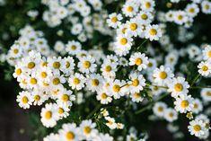 Mutterkraut Gardening, Beautiful Flowers, Plants, Juni, Blog, Low Maintenance Garden, Potting Soil, Fruit Garden, Flower Gardening