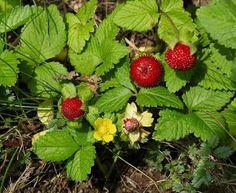 Wild-Strawberry-fruit-medicinal-plant-Urdu-Blog-Noons-www.noons.info-Naeem-Khan-naeemswat.jpg (320×262)