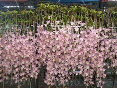 Dendrobium pierardii grows in Townsville