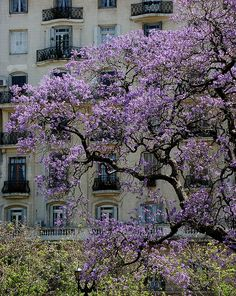 Jacaranda en flor, Buenos Aires  I remember these beautiful trees!