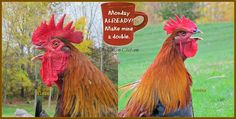 Monday already? Make mine a double. #coffee #chickens