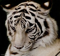 White Tiger -- My ultimate favorite animals Mundo Animal, My Animal, Beautiful Cats, Animals Beautiful, Majestic Animals, Big Cats, Cats And Kittens, Animals And Pets, Cute Animals
