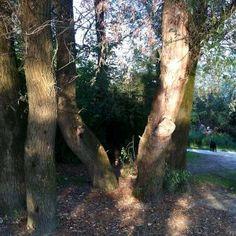 Staro vrbovo drveće (6)