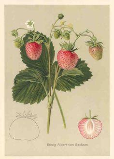 Konig Albert von Sachsen strawberry plant, antique chromolithograph botanical print, German, early 1900's