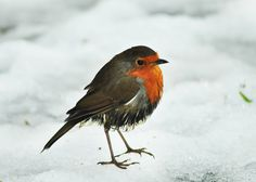 Robin in the snow. where are the backstabbers?