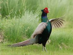 Japan's national bird - 雉(Kiji), or the Green Pheasant, Phasianus versicolor, also known as Japanese Pheasant. The Beautiful Country, Beautiful Birds, Ring Necked Pheasant, Golden Pheasant, World Birds, Game Birds, Living A Healthy Life, Japanese Culture, Old World