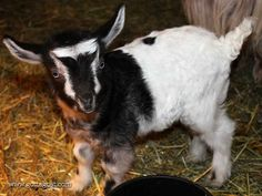 Lilly - she is just so gorgeous! Fainting Goat, New Kids, Goats, Miniature, Awesome, Funny, Cute, Animals, Animales