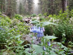 Bluebells in the Rocky Mountains